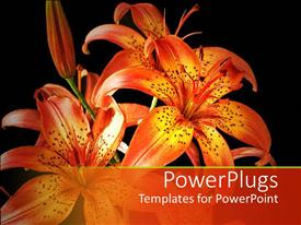 PPT theme consisting of beautiful orange lily on black background