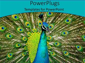 Presentation design featuring a beautiful peacock with place for text along with bluish background