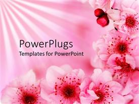 Theme featuring beautiful pink blossoming cherry flowers on light pink background.