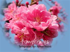Audience pleasing presentation theme featuring beautiful pink cherry flowers inflorescence on sky blue background