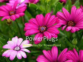 Colorful presentation theme having beautiful purple daisy flowers blossom with green leaves