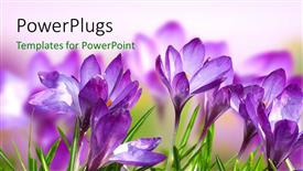 Beautiful theme with a number of purple flowers with a blurred background