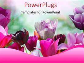 Presentation with beautiful spring flowers in pink and purple with nature in background