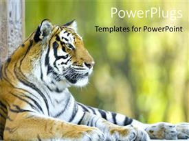Zoo powerpoint templates ppt themes with zoo backgrounds beautiful ppt theme with beautiful tiger resting tiger at a zoo close up of template size toneelgroepblik Gallery