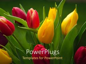 Elegant slide deck enhanced with beautiful Tulips growing in flower garden