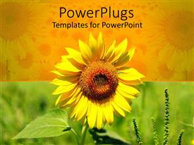 Presentation theme enhanced with beautiful yellow sun flower on yellow and green background