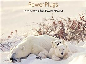 Beautiful presentation theme with big polar bear with two cubs lying on snow
