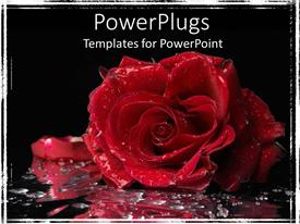 Colorful PPT layouts having big red rose with water droplets on a black background