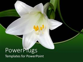 Presentation theme with black background with white lily and fresh green leaves