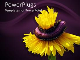 Slide set consisting of black eyed susan on a purple background with waves