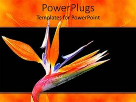 PPT theme enhanced with blossoming colorful fresh spring flower on a black background