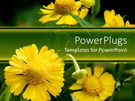 PPT theme having blossoming yellow daisy flowers growing in their natural habitat