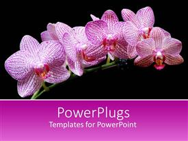 Elegant PPT layouts enhanced with branch with pink orchid flowers on black background with pink band for text