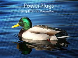 Colorful presentation having brightly colored duck swimming on calm, reflective water