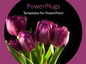 Elegant slide deck enhanced with bunch of beautiful Purple tulips blooming with black color