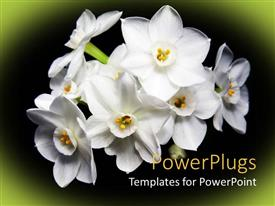 Presentation design featuring bunch of lovely white flowers on black and green background