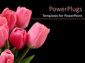 Amazing presentation design consisting of bunch of pink colored tulips on a black background