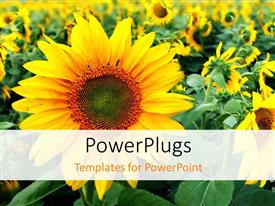 Amazing PPT theme consisting of close-up of beautiful sunflower in flower field