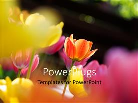 Slide deck featuring close-up of colorful tulips over faded background