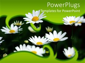 PPT theme having close-up of fresh daisies sprouting out of green frame