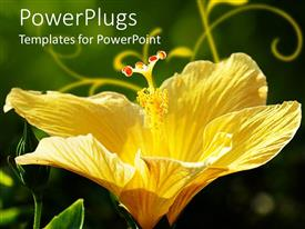 Amazing slide deck consisting of close up of beautiful yellow hibiscus flower on green background