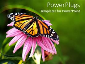 Elegant presentation enhanced with close up of Monarch butterfly on coneflower in green background