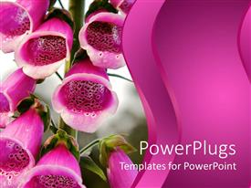 PPT theme enhanced with close up of pink flower bells with blurred background and pink waving background