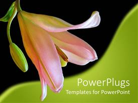 Colorful PPT layouts having close up of pink lily in black and green background