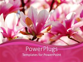 Audience pleasing theme featuring close up of pink and white magnolia flowers with pink wave border