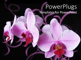 Amazing slides consisting of close up of purple orchids covered with dew, black background