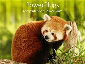 Colorful slide deck having close up of Red Panda eating bamboo in green field