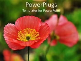 Beautiful presentation theme with close up of red poppies, green background