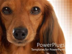 PPT theme with close up shot of a brown colored dog on a brown background