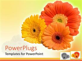Colorful PPT theme having close up of three Gerber daisy flowers in red, orange, yellow