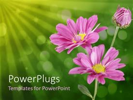 PPT theme consisting of close up of three pink daisies on bubbled green background