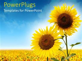 PPT theme with close up of two sunflowers against a field of sunflowers and blue sky