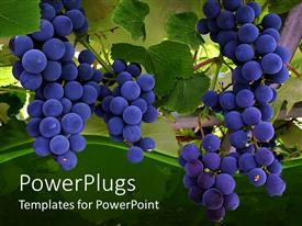 Theme having a close up view of blue grapes on a tree
