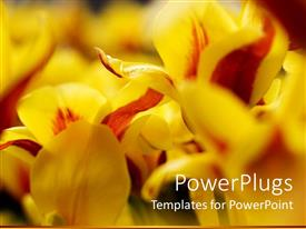PPT layouts consisting of close up of yellow and red tulips with blurred margins