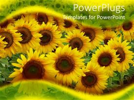 PPT theme consisting of close up of yellow sunflowers on the field framed by transparent green and yellow waves
