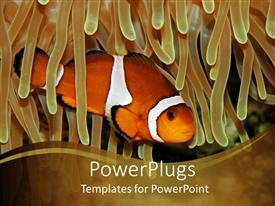 Presentation theme consisting of clown fish swimming through anemone on khaki background, fish in ocean water