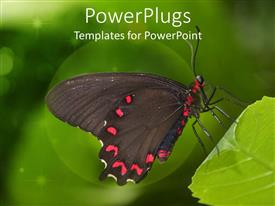 Presentation theme with a colorful large red and black butterfly resting on a leaf