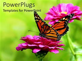Audience pleasing presentation design featuring colorful yellow and orange butterfly on a pink flower