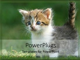 Elegant presentation theme enhanced with curious gray, white, and brown kitten with blue eyes plays in grass