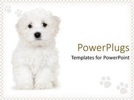 Presentation theme featuring cute sad white puppy on white background