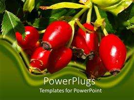 Amazing presentation theme consisting of day light view of a bunch of red rose hips
