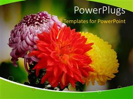Presentation consisting of depiction of autumn with colorful chrysanthemums blossoming in garden
