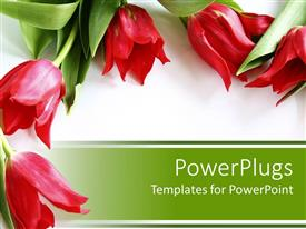 Amazing slide deck consisting of five red tulips with green leaves on white and green background