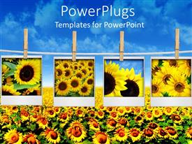 Colorful presentation having four depictions of sunflowers hanged on clothesline attached with clothespins over sunflower field with blue sky background
