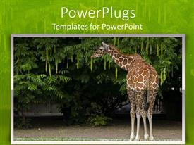 PPT theme enhanced with giraffe eating leaves from a tree