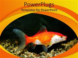 PPT theme featuring a goldfish with black background and place for text